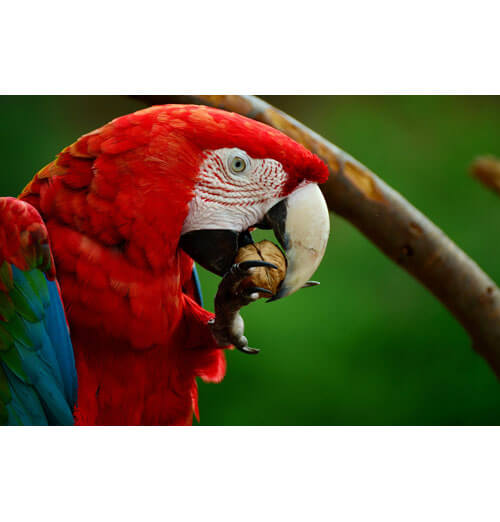 Parrot with microchip