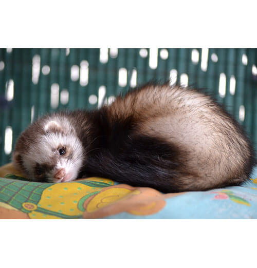 Ferret with microchip
