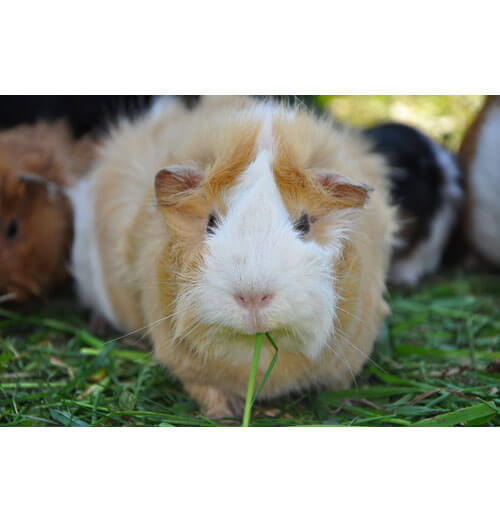 Guinea pigs with microchip